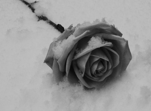 rose on snow